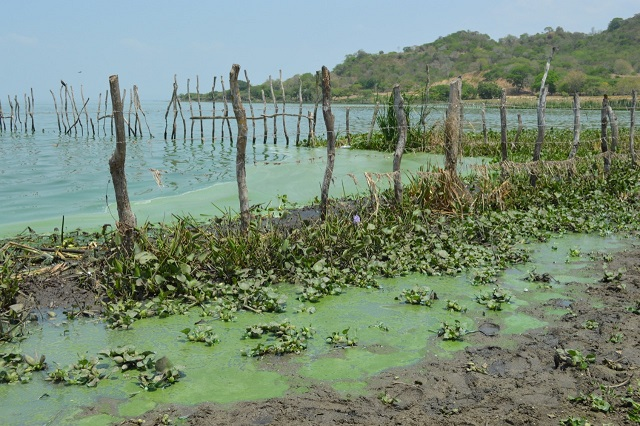 40 reses mueren intoxicadas en Manatí, con Algas tóxicas