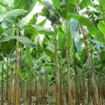Refuerzan medidas para controlar sospecha de hongo en zona bananera de La Guajira