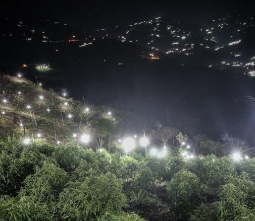 Sin energía invernaderos de marihuana en Toribio y Caloto. En Miranda están desconectando. Corinto es el único municipio del Cauca donde no hay garantías contra los 32 puntos de 18 veredas contra la energía en cultivos ilícitos