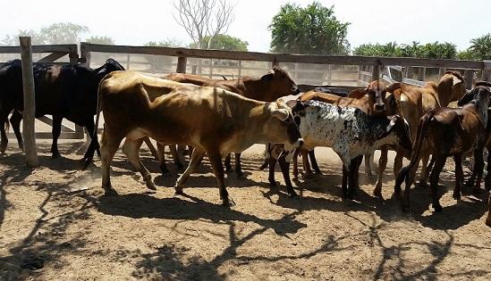 vacas-recuperadas-en-el-cesar