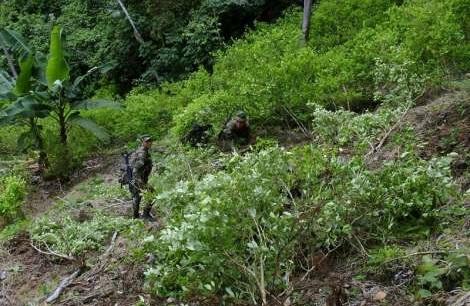 92% de la coca que llega a USA sale de Colombia. Aumentó con el Acuerdo Santos Farc: Afirma la DEA