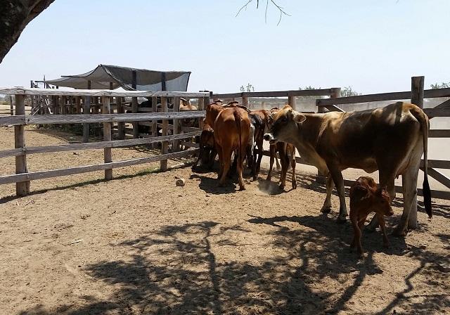 El ICA ejerce vigilancia y control detallado en la ganadería en Sucre