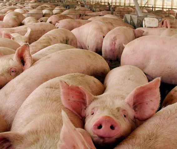 agro-cerdos