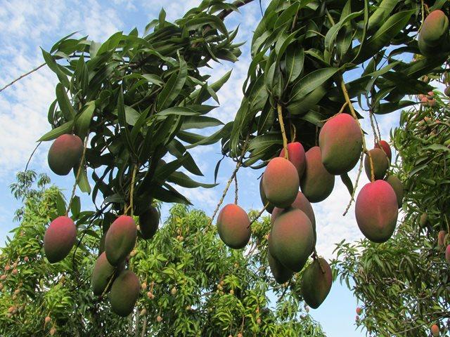 agro-mangos