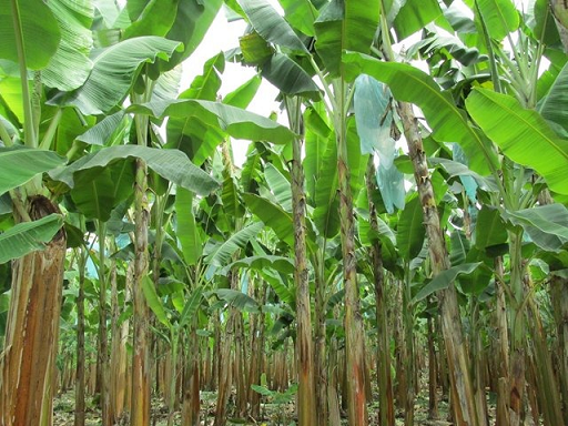 El ICA y sector privado atiende presunto hongo en cultivos de banano en La Guajira. En Cuarentena 150 hectáreas