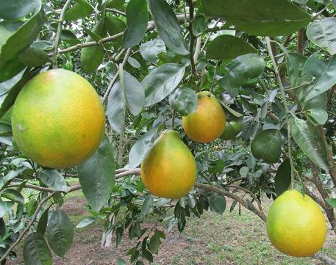 En Atlántico, citricultores y el ICA trabajan contra el Dragón Amarillo de los cultivos