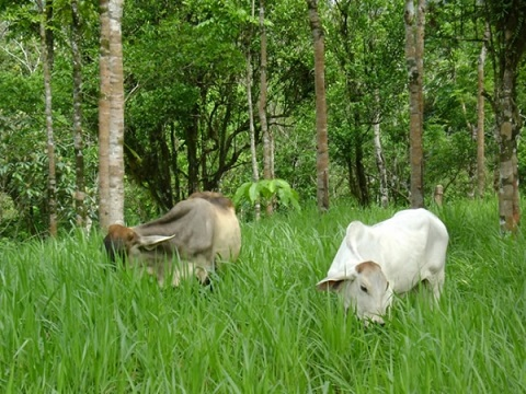 Ganaderos instan al debate honesto y equilibrado, advierten que la culpa no es de la vaca. Y aseguran que la ganadería colombiana apunta al silvopastoreo