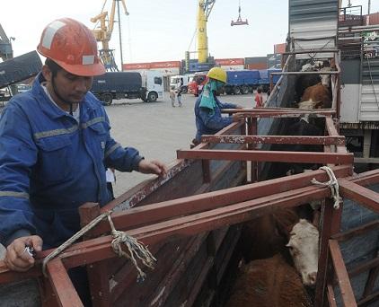 Embarque de ganado en pie en el Puerto de Montevideo, exportacion de ganado vacuno a Egipto, ND 20141027, foto Agustin Martinez