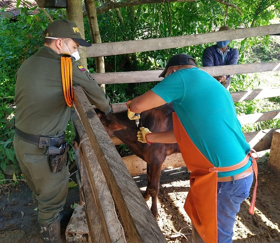En primera semana de ciclo antiaftosa se han inmunizado 2,5 millones de vacunos en Colombia: Lafaurie