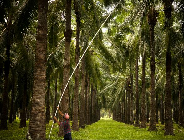 Con B30, palmicultores apuestan a reactivación económica y empleo