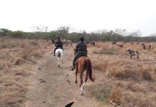 Autoridades incrementan patrullajes en zonas rurales de Palmar de Varela, Polonuevo y Ponedera, entre otros por incremento de abigeato en el Departamento