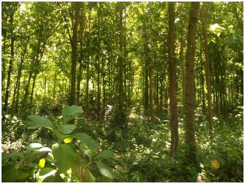 Cultivos forestales con fines comerciales en Riohacha, recibieron visita de inspección en el marco de la nueva norma ICA