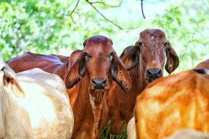 Negociación del acuerdo comercial con Japón no beneficia a la ganadería colombiana, denuncia Fedegán